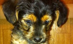 Sweet little yorkie-poos. Mom is a miniature apricot poodle and daddy is yorkie ( 1/2 Biewer yorkie--tricolored). Will be nice small dogs but not toy-sized. They are vet checked with first shots and have been dewormed twice. First 2 pictures are of the