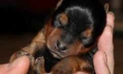 Ready to come home for Christmas!! Yorkshire Terrier puppies for sale (unregistered). Born October 8, 2011. 4 males. 3 females. Puppies should be around 5-7 lbs.  Puppies will be ready to go the week of   December. 18, 2011.  $800.00 each with a $200.00