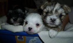 beautiful litter or three puppies. two boys and one girl. non shedding. paper train. first shot, dewormed and vet check. health guaranttee. great with kids and other pets. mom and dad all have great temperment. mom is five pounds yorkie pekingese. dad is