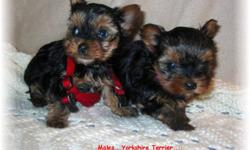 Adorable Tiny Yorkie Pups! 3 males to choose from. We are now taking deposits to reserve your special puppy! Mommy is 5lbs and Daddy is 3.6lbs. Ready to go just in time for Christmas! Non Shedding! and will be started on the peepads and Newspaper