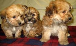 3 caramel coloured males, 2 black/tan females.  Come and let one of these beauties spoil you with their love and affection. We have Yorkie / Bichon puppies.   Born Dec 10, 2011.   They are non shedding, very easy going and a pleasure to be around with.