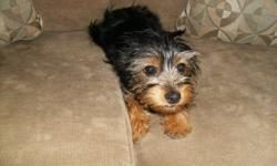 4 months old yorkie chiuaua all shots.. proof of shots very good with children or a elderly lady to keep company! We were going to keep her but we have two dogs already its a hassle Great x mas gift! Potty trained!!!! seriously inquires only 519-977-3712