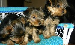 We have four pups ready to go to their new forever homes.  They were born Aug 17, 2011.  They have been vet checked, first needles and deworming.  They will also come with the second deworming medication.  They are Yorkie Poodle cross.  They have been