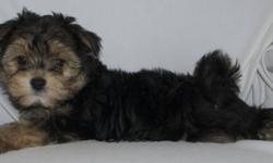 This little one is a first generation cross between a Yorkshire Terrier and a miniature poodle. Will mature at about 15 pounds. Very social and loving. extremely kid friendly. Hypoallergenic and non shedding. health guaranteed and first shots. Please call