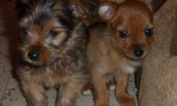 3 small adorable puppies in need of a good home.  The 2 males (one black and the other brown with black markings).  Their dad was a Yorkie cross Pom, so pups are 3/4 Yorkie and 1/4 pom.  Pups should weigh around 6 lbs when fully grown.  The Female looks