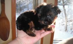 I have a MICRO TEA CUP male Yorkshire terrier for sale. This super little POCKET DOG  is almost 11 weeks right now, but will be ready to go in another few weeks. has had 2 sets of shots, 2 vet. check ups, all the the preventive de-worming for his age.