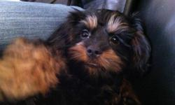 Five month old Yorkie Poo female for sale.  She is very friendly and adapts quickly.  I'm including her Kennel Cab carrier, bowls, bedding, leash and carrier purse which are all in perfect condition.