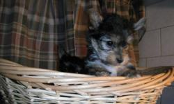 A beautiful healthy litter of 4 yorkie puppies. 1 Girl and 3 boys. 2 Boys are now sold. The Mother(Hannah) is a RARE purebred registered Yorkie Biewer. They are Black and white Yorkies. Found mostly in Germany. Hannah came to us directly from Germany. The