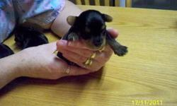 yorkie puppies for sale 2 males will have first set of needles, dewormed,and there own little care pkg to take home with them ..to there new parents ..will be ready to go by christmas eve