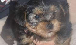 Missy had 3 adorable fur babies-2 females and 1 male. Born on November 9th and are 6 weeks old. Puppies will be ready to go to their new homes the 1st or 2nd week of January. Will have 1st shots, be dewormed and vet checked. Included with the puppies is a