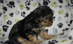 All females yorkie puppies with a dash of poo.  Mother is 3/4 yorkie and 1/4 toy poodle, father is pure yorkie.  Vet checked, first shots, dewormed.  Family raised.  Both parents on site.  Mature between 5 - 9 lbs.  Most weigh around 2 1/2 lbs right now.