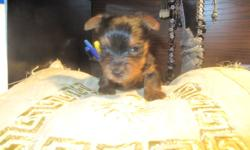 Adorable!! Updated photos! All our yorkie pups will come vet checked, shots up to date, de-wormed, microchipped, dewclaws removed, tails docked, 6 week pet plan insurance. Born Jan.1, 2012 GOOD LUCK CHARMS FOR 2012. They will bring you Love and Joy