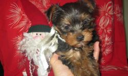 These three Yorkie males will be 8 weeks old on Dec 12 2011. They are NOT Registered, however they have a purebred mother and a registered father. These quality dogs come standard with a vet check, vaccinations, de-wormed, tails docked, and dew-claws