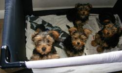 we have 3 yorkie pups' 1 girl and 2 boys they are vet checked, first needle, dewormed this breed does not shed 905 383 1364