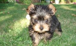 Purebred yorkie puppies - so sweet, cuddly & playful.  Cute little faces - black & tan.  Already paper training.  Will have 1st shots & deworming & vet check.  4 pounds fullgrown.  4 to choose from.  They are absolutely adorable!
