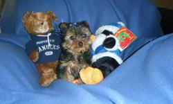 Yorkie 15 weeks old, he's only 2 lbs, will be super super small. Beautiful temperament and baby face teddy bear features. Nice soft and fluffy coat, he's very affectionate, sweet and loves to cuddle, 99% pee pad trained already. The price includes: First