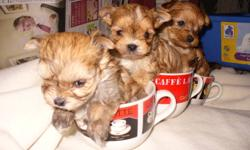litter of three. mom and dad have excellent temperment. great with kids and other pets. non shedding. first shot, dewormed and vet check. health guaranttee. paper train. two boys and one girl. the girl is one pound seven oz. one boy is one pound one oz