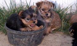 Yorkie X Maltese puppies for sale Mother is a 12pd YorkieXMaltese, father is a 7pd Yorkie Both parents are excellent dogs and are very trainable Tails docked, dew claws removed and have 1st set of shots 1 B/T female, 1 tan female, 1 brown female and 1 B/T