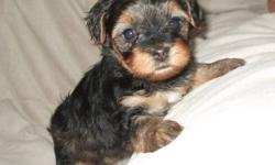 Beautiful little yorkipoo babies ready for Christmas.  Their mom is a 7lb yorkiepoo and dad is a 4lb yorkshire terrier.  They will mature between 5 - 7 lbs.  When they leave our home they will have their first shots and be dewormed.  They will also come