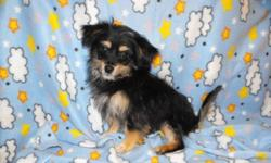 """Frankie is a Little Boy who is just the """"Sweetest"""" Mom is a Blond Purebred Toy Poodle at 7 lbs. Dad is a Purebred Yorkshire Terrier at 5 lbs.   He weighs aprox 4 lbs & will not probably get any bigger. He is solid like his Dad in a small but in a small"""