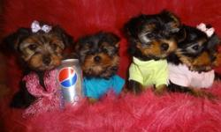 647-839-6804--READY TO GO NOW--647-839-6804.  ONE MALE LEFT, i'll delete the ad only when he is sold.   Adorable tiny toy yorkies, male and female available. The puppies got 1st shot also were dewormed, vet checked. Will mature to be 5-6lbs. They are