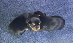 Yorkshire Puppies for Sale.  1 Female & 3 Males left in litter of 7 Vet checked, 1st shots, dewormed, tails docked...ready to go to a loving, caring home on November 7th, 2011.   Call for more details...905-685-4356