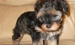 Beautiful little yorkipoo baby ready to go.  Her mom is a 7lb yorkiepoo and dad is a 4lb yorkshire terrier.  She will mature between 6 - 7 lbs.  She loves to cuddle and has a quiet disposition but she is not timid.  When she leaves our home she will have