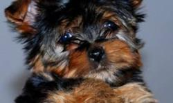 We are proud to present our gorgeous small male yorkshire terrier, his name is Portos. Parents are from very distinguished blood lines and excellent pedigree. Registered, micro-chipped, with a one year health genetic guarantee and all the paperwork from