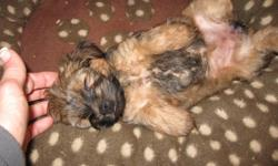 Ready to go!  Female Yorkshire Terrier cross puppy.  Mother is registered Yorkshire Terrier, dad is Havanese cross.  Non-shedding, playful and adorable!  Hand raised and loved.  Email or phone 306-220-2018.  $325.00 obo.