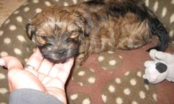 Little Yorkshire Terrier Cross puppy for sale.  Female, last one left!  Mother is registered Yorkshire Terrier and father is Havanese cross.  Non-shedding. Ready to go.  Hand raised and loved, ready for a new home! Email or phone 306-220-2018.