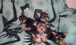 3 males, 1 female yorkshire terrier pups ready to go .  hypo-allergenic, non-shedding sire is 3.5 lbs. mother is 6 lbs. tails are attached They have great temperments and socilize well with people, cats and other dogs. They are full of personality. vet