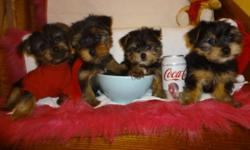 TINY TOY YORKIES will mature to be 5-6lbs, checked by a vet, shots all up to date, dewormed, non shedding, hypoallergenic, playfull and well socialized, male and female available, ready to go now: 647-839-6804. ONLY ONE MALE AND ONE FEMALE LEFT.