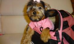 TINY TOY YORKIES will mature to be 5-6lbs, checked by a vet, shots all up to date, dewormed, non shedding, hypoallergenic, playfull and well socialized, male and female available, ready to go now: 647-839-6804. ONLY ONE MALE LEFT. INCLUDED: +HEALTH