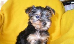 I have 4 gorgeous Yorkshire Terrier Puppies ready for a new home. There are 3 females and 1 male available, they have had their first sets of shots and have been de-wormed. They come with their vet certificates and health guarantees. They would make a