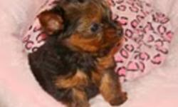 We are the little doll yorkies. We are ready to go to our forever homes  Wednesday November 16th 3 boys and 2 girls. We will be vaccinated, we are dewormed, you will get a micro chip, health insurance and a written health guarantee. We have been family