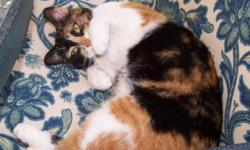 Breed: Calico   Age: Young   Sex: F   Size: M Meet Chrissy...mom of Mango, Leia, Snickers, Hershey, Yoyo & S'mores. . She's simply beautiful and spends her summer days lounging on the back deck, but is an indoor baby once the weather turns cold. She's