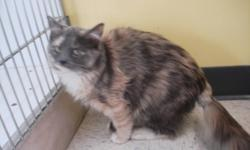 Breed: Dilute Tortoiseshell   Age: Young   Sex: F   Size: M Hi everyone my name is Meggy. I am a sweet girl who loves to play with everyone. If you would like a cute, friendly cuddly cat look no further then me!!   View this pet on Petfinder.com Contact: