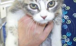 Breed: Domestic Long Hair   Age: Young   Sex: F   Size: S Hi, I'm Avril and I'm named after Avril Lavigne! I bet you can't guess why… its because of my beautiful eyes, it looks like I'm wearing eye liner! I'm a rocker chick