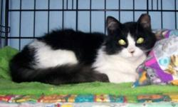 Breed: Domestic Long Hair-black and white   Age: Young   Sex: F   Size: S   View this pet on Petfinder.com Contact: Forgotten Ones Cat Rescue & Adoption Inc.,   Richmond Hill, ON