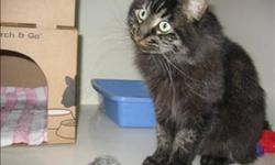 Breed: Domestic Long Hair   Age: Young   Sex: F   Size: M I love to: play with a laser light. I would rather not: be picked up and carried around too much. I get along well with: other cats. I have: a neurological disorder called Cerebellar Hypoplasia. A