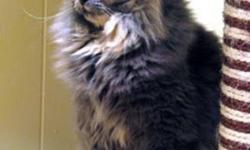 Breed: Domestic Long Hair   Age: Young   Sex: F   Size: M RESCUE: Willa and her kittens were first noticed by a woman who put food out for the strays in her neighbourhood. She had first seen Willa in the fall, but had not realized that she was pregnant,