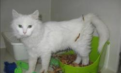 Breed: Domestic Medium Hair Turkish Angora   Age: Young   Sex: F   Size: M Meow!! My name is Chevelle and I am 5 months old. I was found abandoned and feel much safer here at the shelter. I was very scared and needed some time to get comfortable with