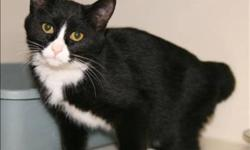 Breed: Domestic Short Hair   Age: Young   Sex: F   Size: M Meow!! My name is Capone! I am a black and white female cat about 6 months old. I have lots of energy for playing with toys and people. I was found abandoned so I really need a good home. I am