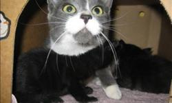 Breed: Domestic Short Hair   Age: Young   Sex: F   Size: M Hi! My name is Claire! I am grey and white and one and a half years young! I came to the shelter when my owner abandoned me, so I am looking for a loving home. I learned lots about love and