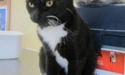 Breed: Domestic Short Hair   Age: Young   Sex: F   Size: M Emma was a stray cay who needed a place to stay. She is a bit shy and has chosen not to come out of her cage. Hopefully we will know more about her personality when she settles in.   View this pet