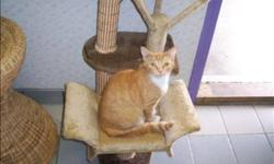 Breed: Domestic Short Hair   Age: Young   Sex: F   Size: M Ginger is a really sweet little girl. She is young, friendly and playful. She gets along well with everyone. Primary Color: Orange Tabby Secondary Color: White Age: 0yrs 10mths 2wks Animal has