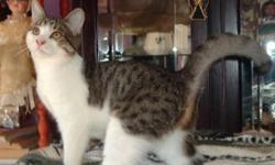 Breed: Domestic Short Hair - gray and white   Age: Young   Sex: F   Size: M My foster mom calls me Choupette because I am a cutie, full of life and love. The vet figures that I was born around the end of October 2010; I am a short haired tabby & white