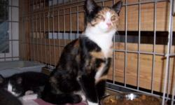 Breed: Calico   Age: Young   Sex: F   Size: M FOR ADOPTION: Meet Penelope! She is believed to be the mother of the 2 young kittens pictured in this album. She was delivered to our shelter and is in need of a new home. Penelope is a friendly, tame cat but