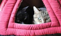 Breed: Tabby - Grey   Age: Young   Sex: F   Size: M Lavern is a friendly, female tabby who was quite thin when found with a sibling, but she is gaining weight and doing well in her foster home. Her foster reports that Lavern loves being petted. She gets