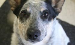 Breed: Australian Cattle Dog (Blue Heeler)   Age: Young   Sex: F   Size: M Pearl is a young girl (born May, 2011). She is very sweet and gentle. She loves to be pet and snuggled. Pearl is on the mellower side for a heeler, but will still need stimulation